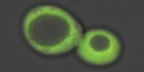 Glowing Green Toxin Keeps Cells In Check